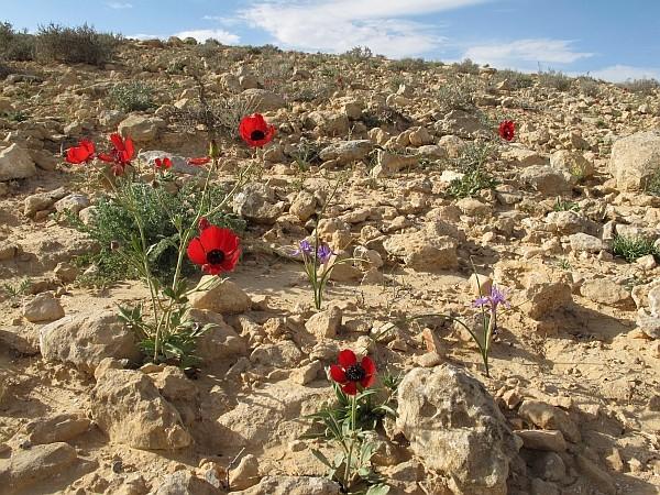 Herborisations en Israël et en Jordanie Ranunc10