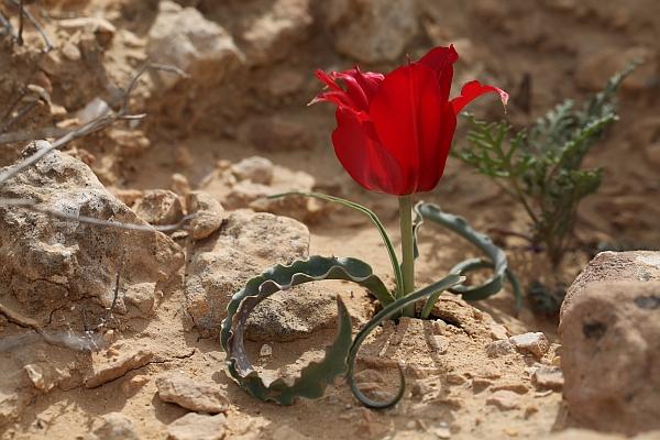 Herborisations en Israël et en Jordanie Tulipa10