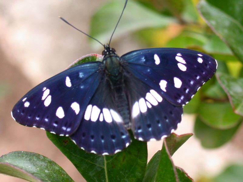 papillons Dscn6910