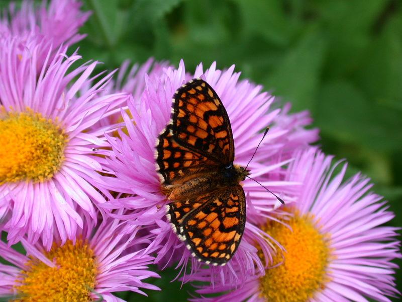 papillons Dscn8310