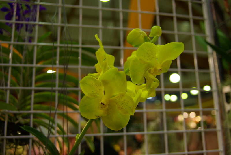 Exposition internationnale d'orchidées à Toulouse Imgp2510