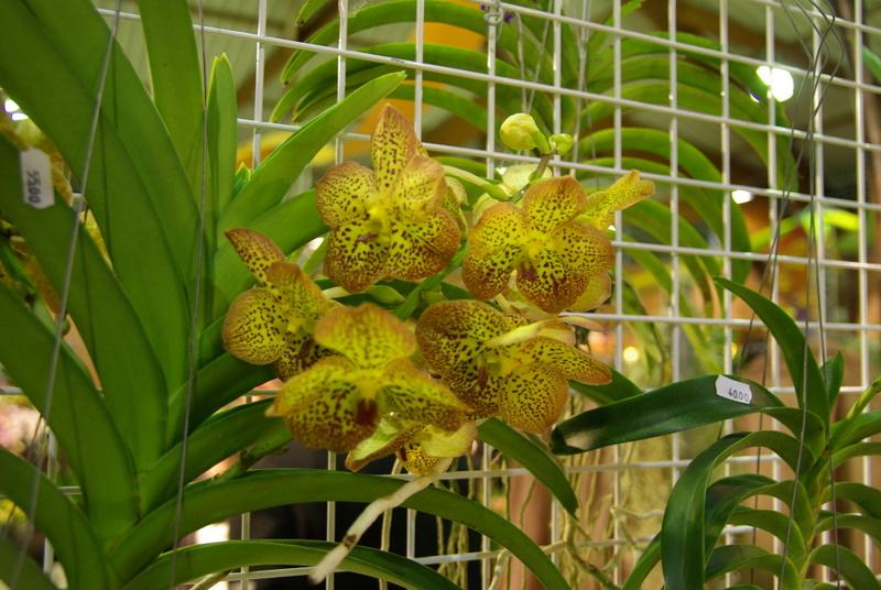 Exposition internationnale d'orchidées à Toulouse Imgp2511