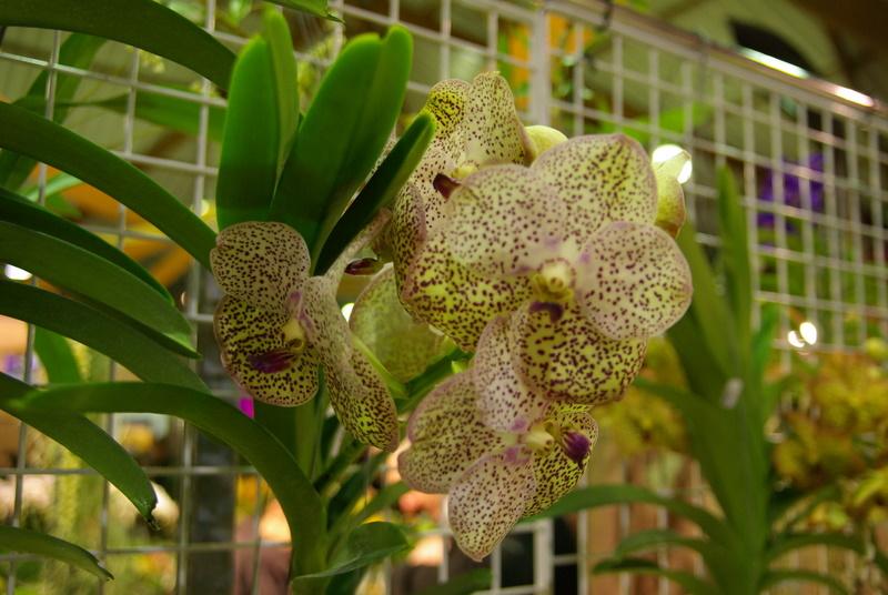 Exposition internationnale d'orchidées à Toulouse Imgp2512