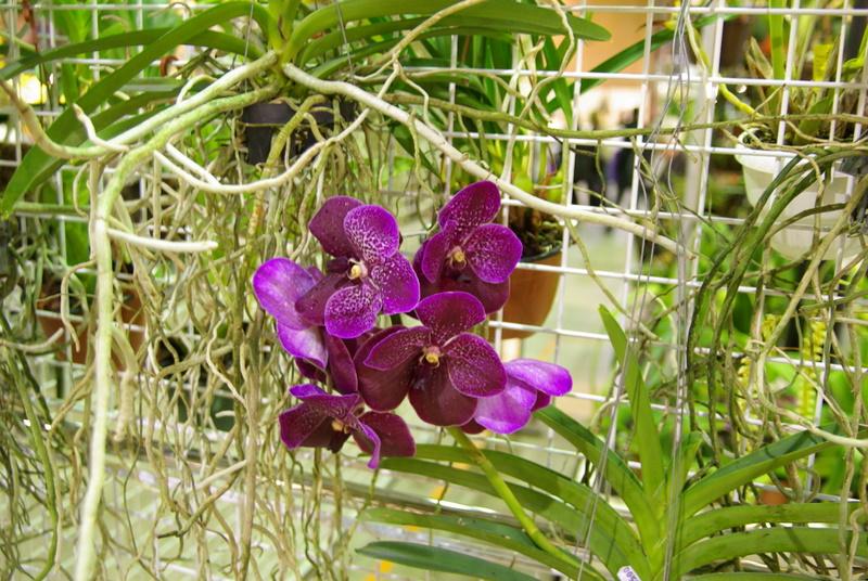Exposition internationnale d'orchidées à Toulouse Imgp2513