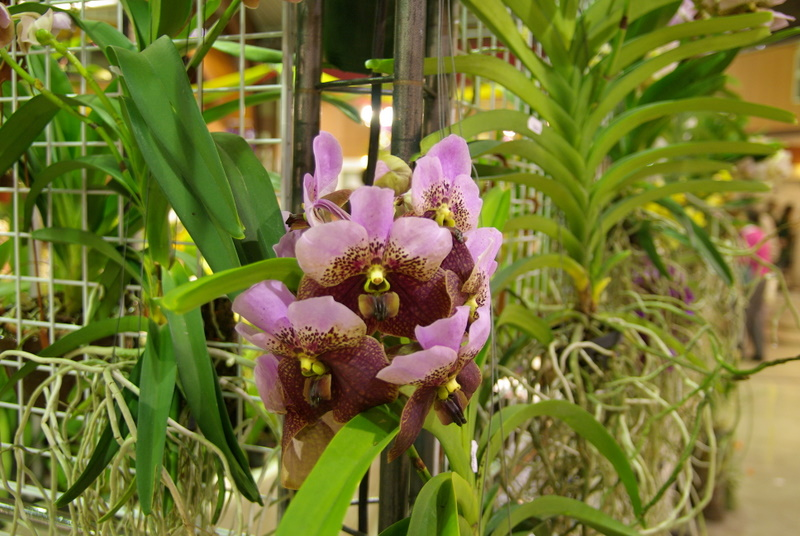Exposition internationnale d'orchidées à Toulouse Imgp2514