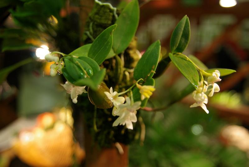 Exposition internationnale d'orchidées à Toulouse Imgp2533