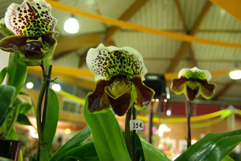 Exposition internationnale d'orchidées à Toulouse Imgp2537