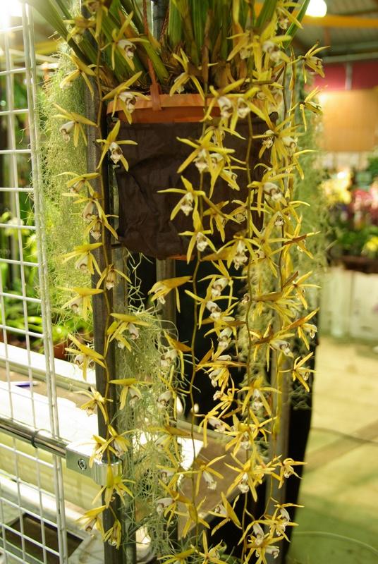 Exposition internationnale d'orchidées à Toulouse Imgp2539