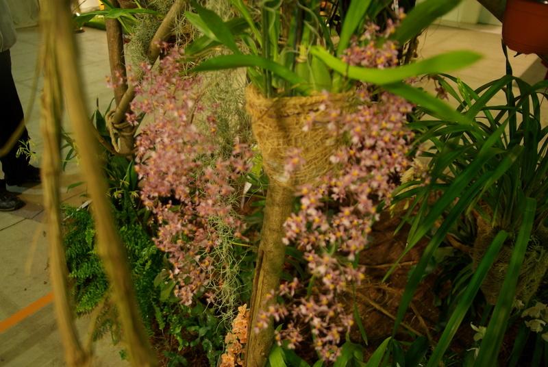 Exposition internationnale d'orchidées à Toulouse Imgp2540
