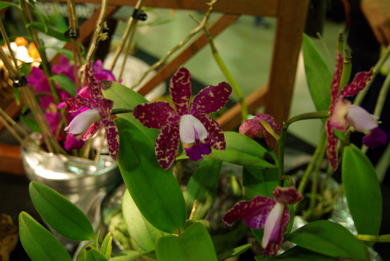 Exposition internationnale d'orchidées à Toulouse Imgp2541
