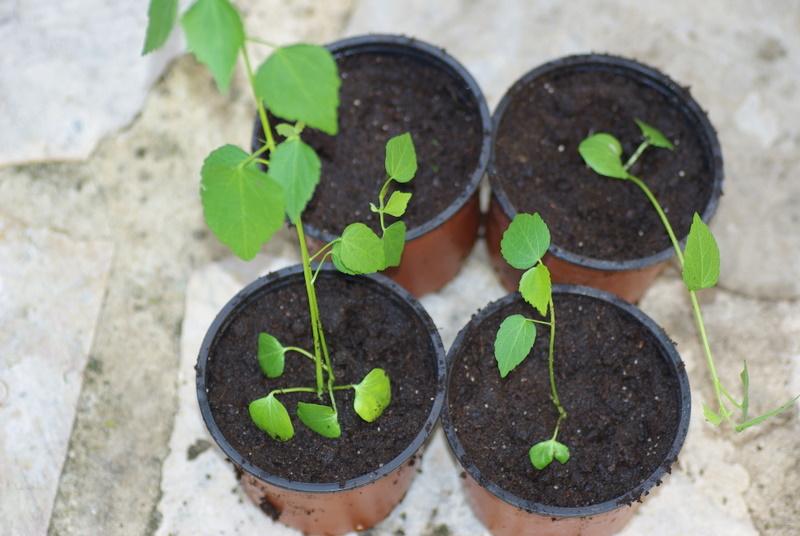semis de graines de Kosteltzkya virginica Imgp2614