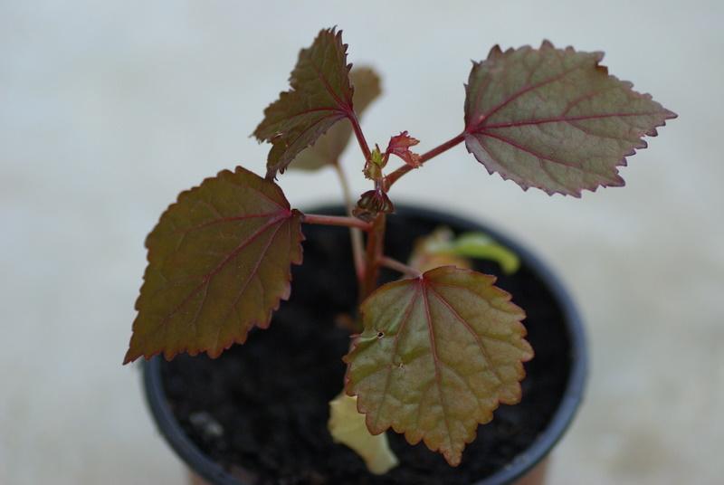 semis de graines d'hibiscus acetesolla Imgp2633
