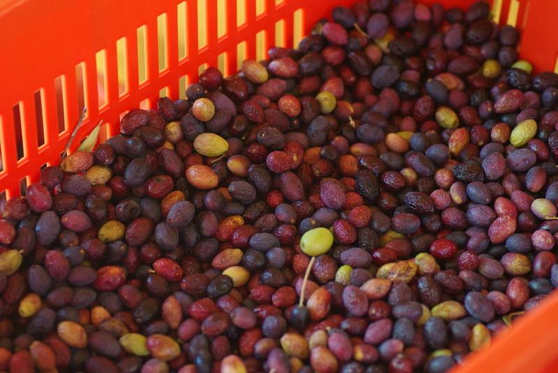 La culture et l'entretien de l'olivier- -Olea Europea - Page 2 Imgp2712