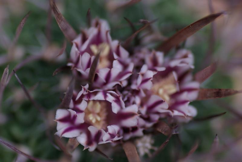 Floraisons de succulentes et cactées - Page 4 Imgp2928