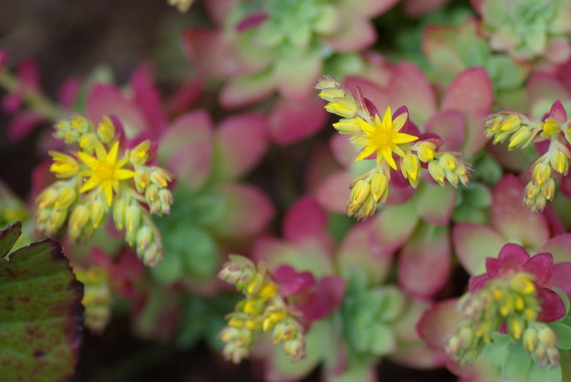 Floraisons de succulentes et cactées - Page 4 Imgp2931