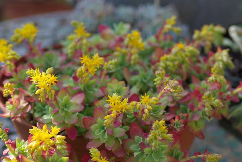 Floraisons de succulentes et cactées - Page 4 Imgp2934