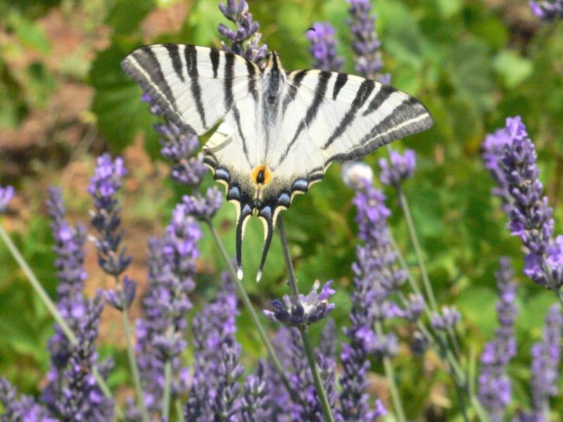 papillons P1000110