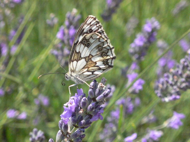 papillons P1000111