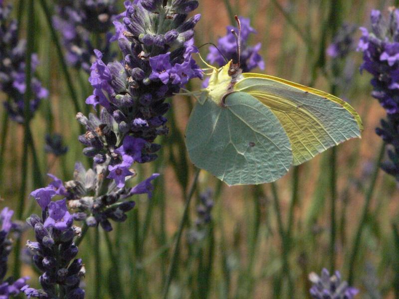 papillons P1000113
