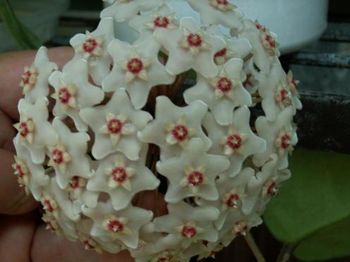 Hoya Fungii Pict1530