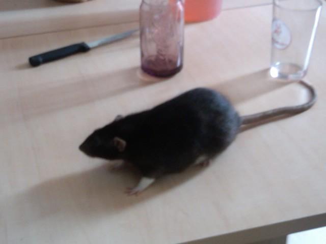 49 rats et rattes à coté de Colmar Img00010