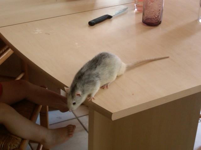 49 rats et rattes à coté de Colmar Img00011