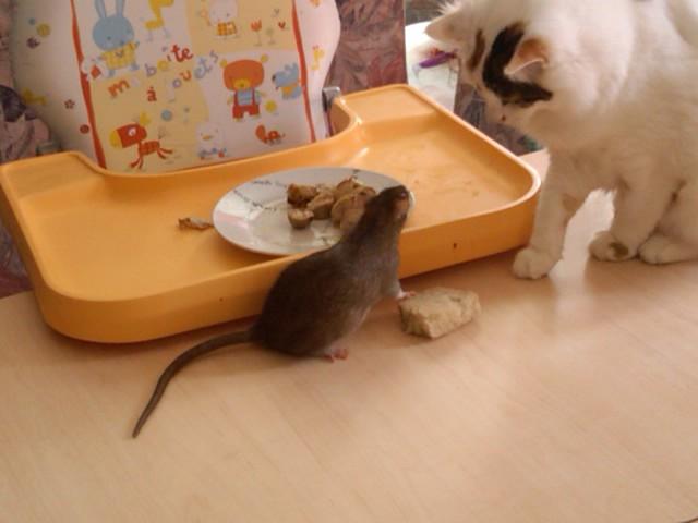 49 rats et rattes à coté de Colmar Img00012