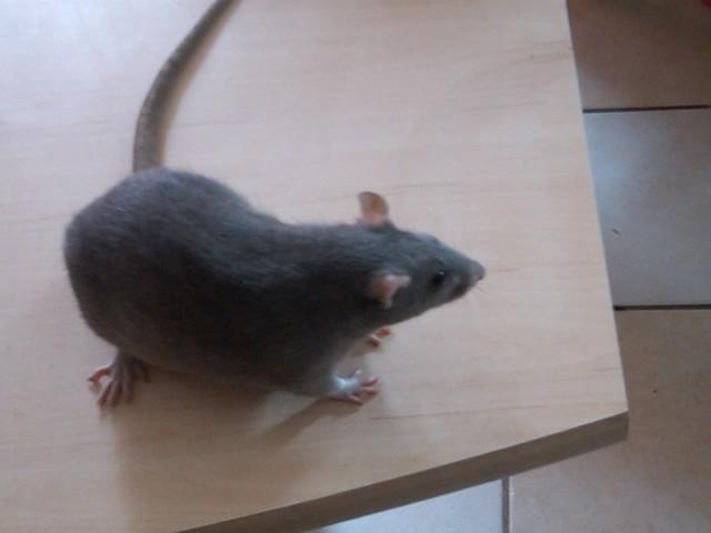 49 rats et rattes à coté de Colmar Img00014