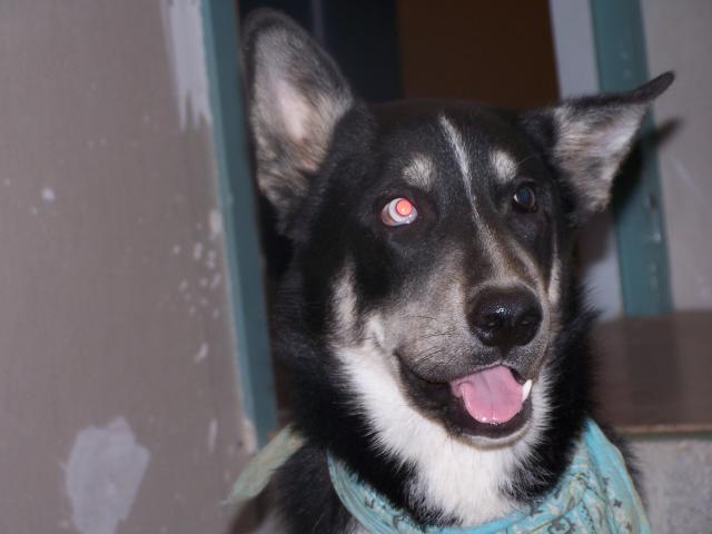 Husky noir et blanc probablement volé en rhône alpes Kib_6m10