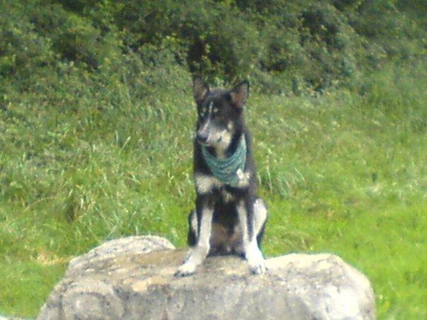 Husky noir et blanc probablement volé en rhône alpes Kiba10