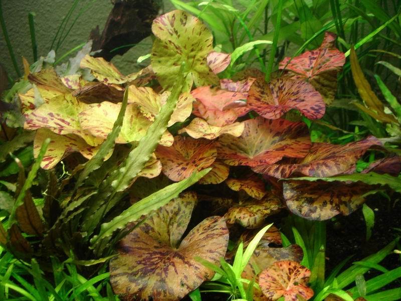 Nymphaea lotus Nympha10