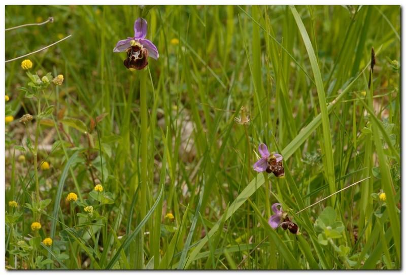 fuciflora,truncata,aegertica et scolopax Fucifl10