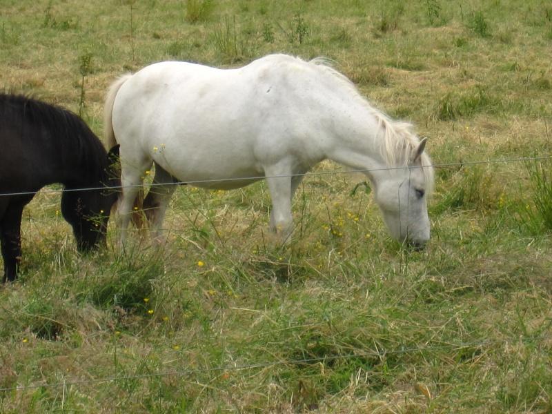 ULYSSE - OI Poney typé Shetland né en 1984 - adopté en juillet 2009  Img_0612