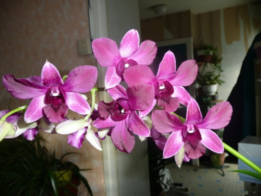orchidees P1040234