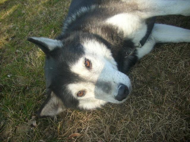 Spot, husky noir et blanc, mâle  âgé de9  ans a l'Eden Valley (26)DECEDE Les_do12