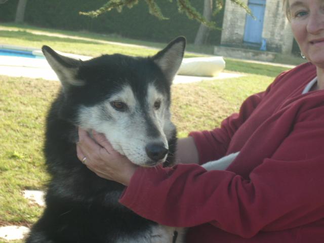 Spot, husky noir et blanc, mâle  âgé de9  ans a l'Eden Valley (26)DECEDE Spot_010