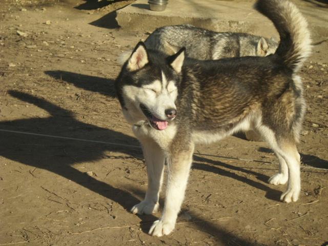 Orca, Husky, âgée de 14 ans née 20 Décembre 2000,  Eden Valley  ASSO39 Togo_l10