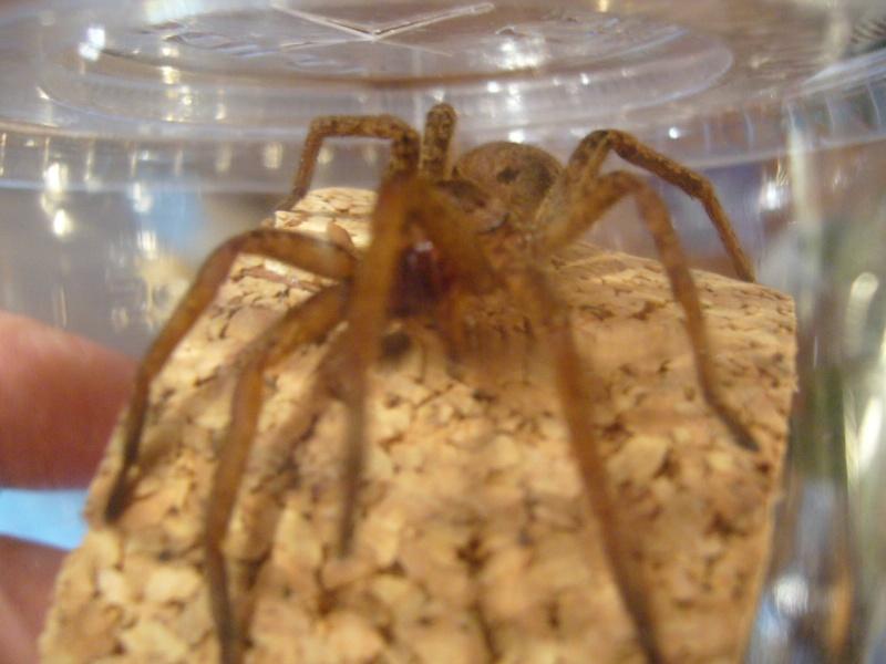 mes 3 araignées chasseuses Ancylo11