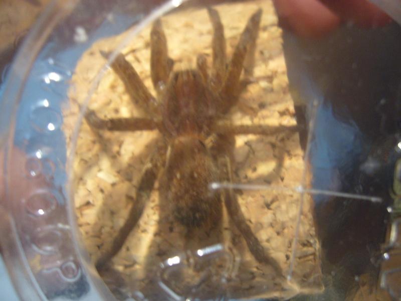 mes 3 araignées chasseuses Ancylo13