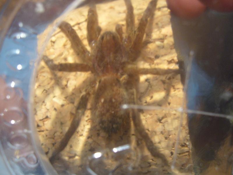mes 3 araignées chasseuses Ancylo14