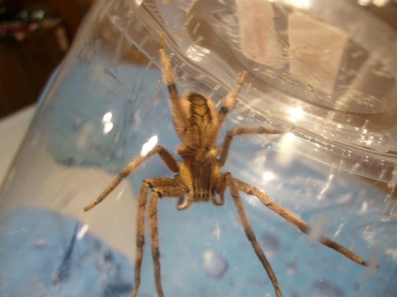 mes 3 araignées chasseuses Cupien11