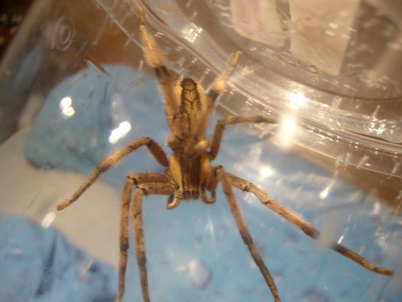 mes 3 araignées chasseuses Cupien12
