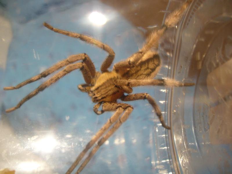 mes 3 araignées chasseuses Cupien13