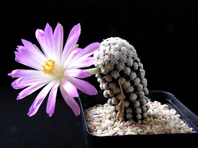 Fiche de culture Mammillaria theresae 14-07-10