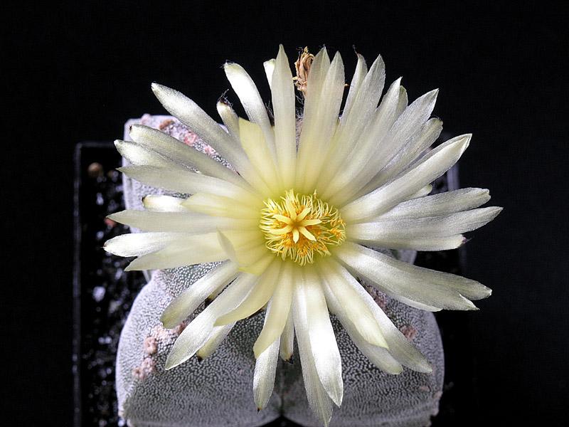 Fiche de culture Astrophytum myriostigma 14-07-12