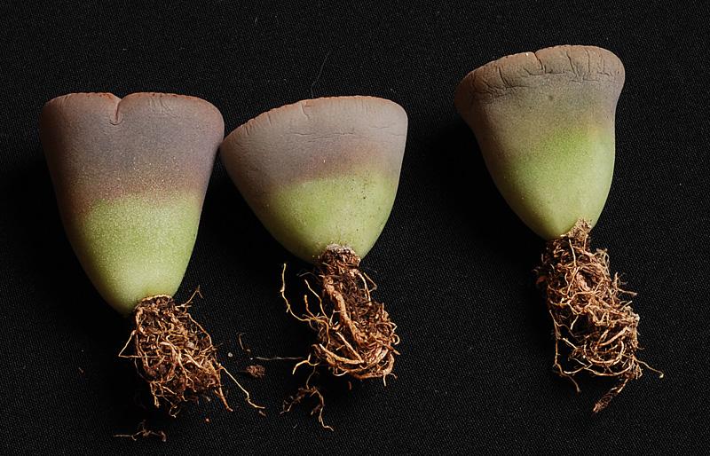 La Culture Des Lithops Plantes Cailloux