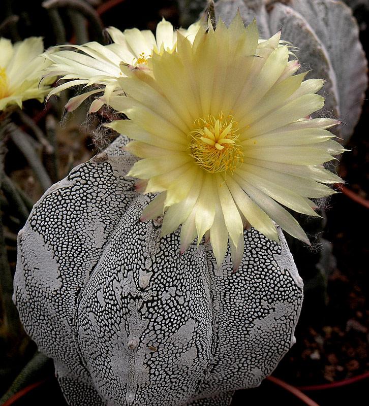 Fiche de culture Astrophytum myriostigma onzuka 212