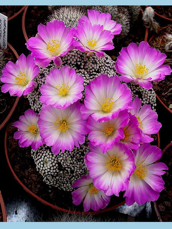 Fiche de culture Mammillaria luethyi 31110