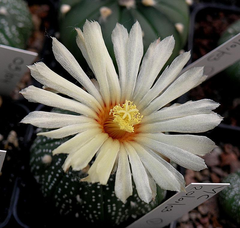 Fiche de culture Astrophytum asterias 57-00810