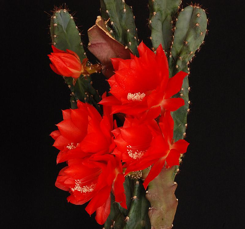 Epiphyllum ackermannii Ackerm10